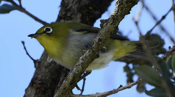 Photograph - Japanese White Eye by Pamela Walton