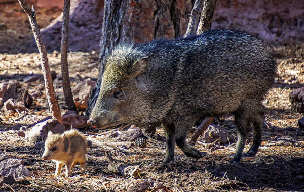 Photograph - Javelina And Baby, Arizona by Dawn Richards