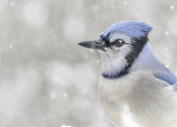 Photograph - Jay In The Snow by Jim Hughes