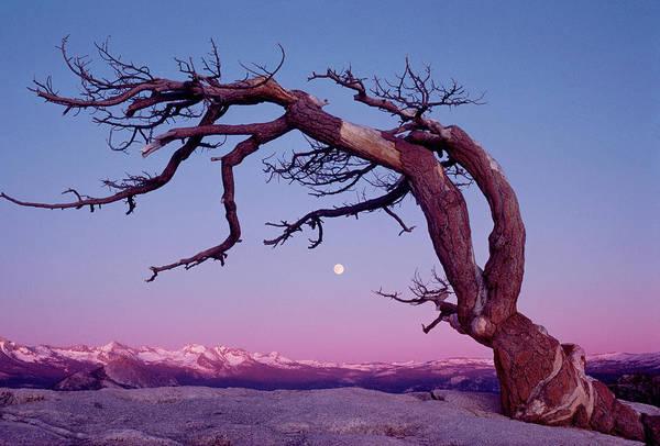 Wall Art - Photograph - Jeffrey Pine Tree, Sierra Mountains by Harald Sund