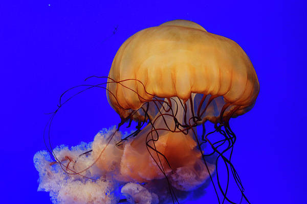 Jellyfish Photograph - Jelly Fish by Skygon
