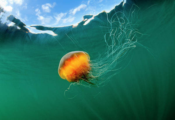 Wall Art - Photograph - Jellyfish, Alaska by Paul Souders