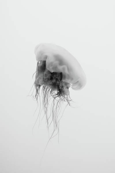 Jellyfish Photograph - Jellyfish In Black And White by Philipp Kern