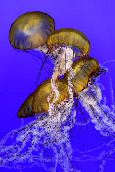Photograph - Jellyfish Jumble by Wes and Dotty Weber