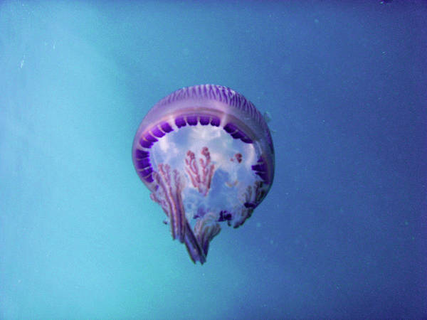 Jellyfish Photograph - Jellyfish by K.s.-j.s.