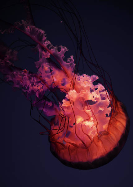 Jellyfish Photograph - Jellyfish by Son Gallery - Wilson Lee