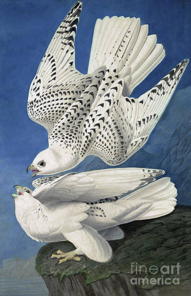 Painting - Jer Or Iceland Falcon, Falco Islandicus By Audubon by John James Audubon