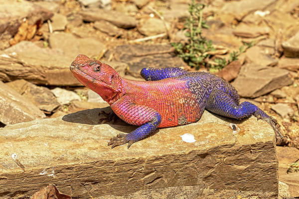 Spider Rock Photograph - Joseph And The Amazing Technicolor Dreamcoat Lizard by Kay Brewer