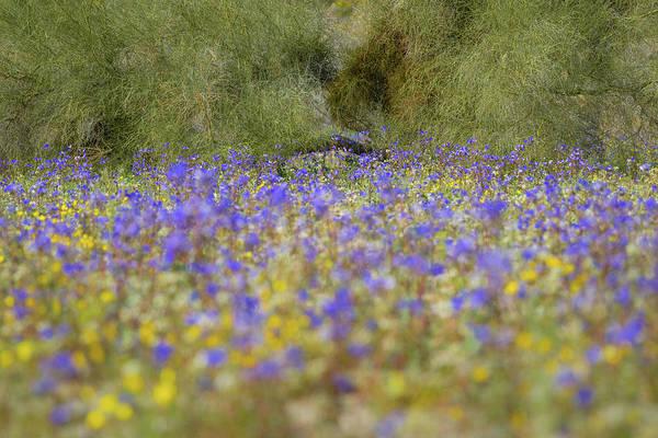 Photograph - Joshua Tree - Desert Bells And Palo Verde by Alexander Kunz