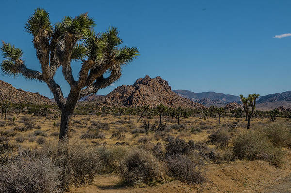 Photograph - Joshua Tree Forest by Matthew Irvin