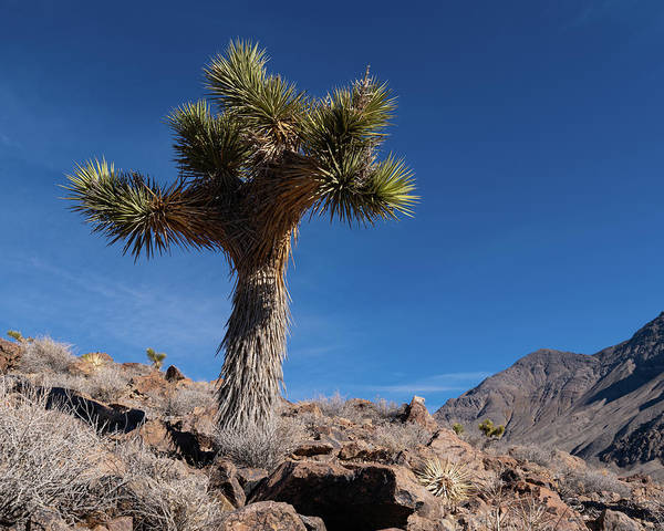 Photograph - Joshua Tree II by William Dickman