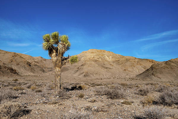 Photograph - Joshua Tree In Death Valley by William Dickman
