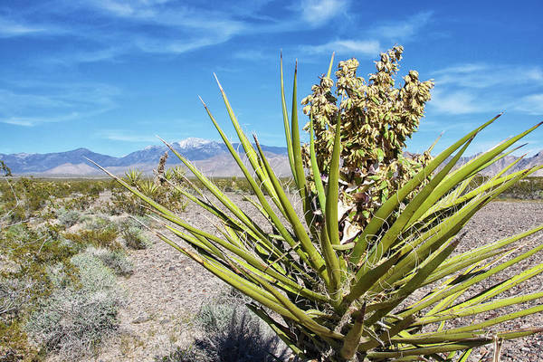Photograph - Joshua Tree In Nevada Desert by Tatiana Travelways