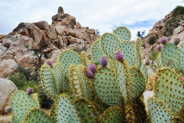 Photograph - Joshua Tree National Park Cactus by Kyle Hanson