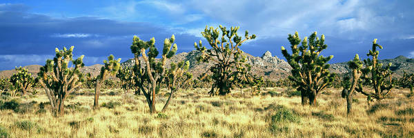 San Bernardino Photograph - Joshua Trees In The Mojave National by Panoramic Images