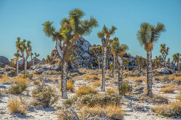 Photograph - Joshua Trees With Frosting by Matthew Irvin