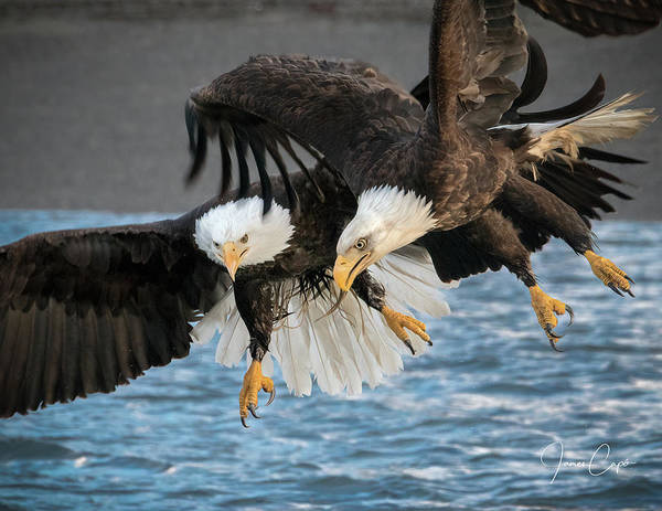 Photograph - Jousting Eagles by James Capo