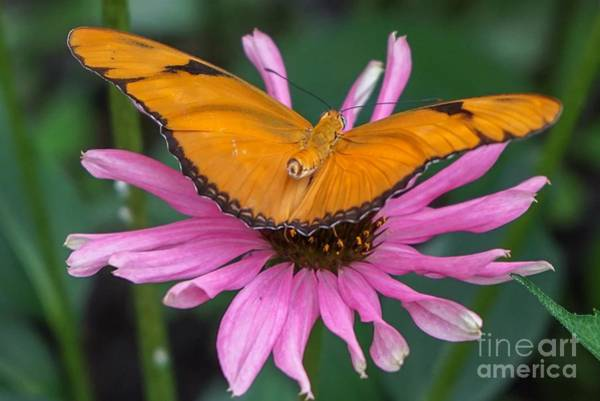 Photograph - Julia Butterfly On Pink by Susan Rydberg