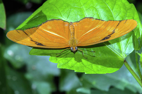 Photograph - Julia Longwing Butterfly 6403-040619 by Tam Ryan