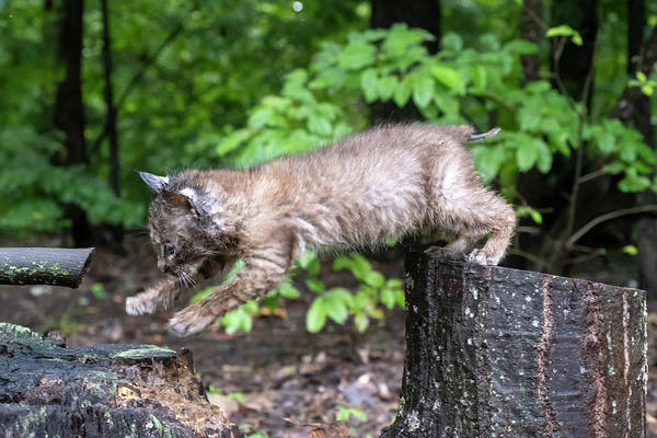 Photograph - Jumping Bobcat Style by Dan Friend