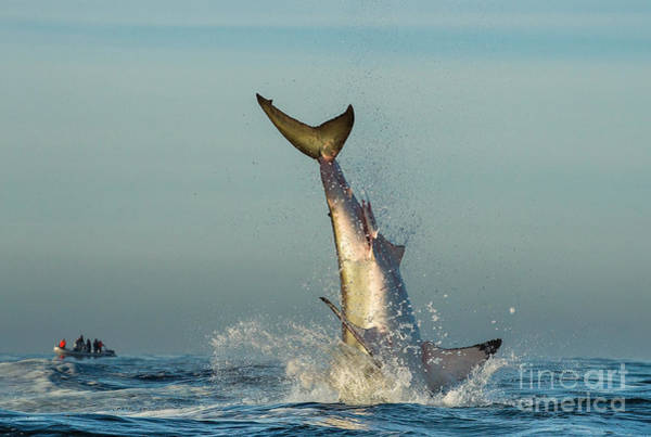 Wall Art - Photograph - Jumping Great White Shark. Tail Of The by Sergey Uryadnikov