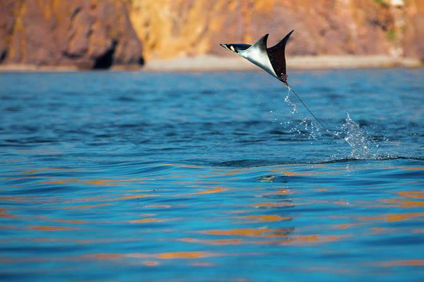 Baja California Peninsula Wall Art - Photograph - Jumping Mobula Ray by Tom Norring