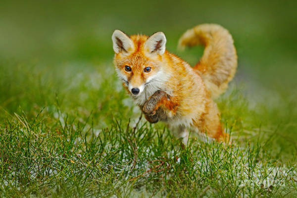 Wall Art - Photograph - Jumping Red Fox, Vulpes Vulpes by Ondrej Prosicky