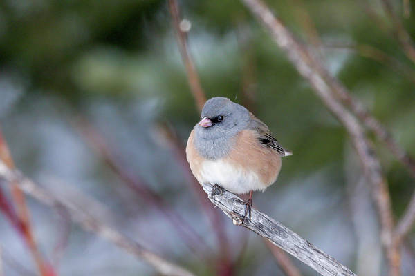 Photograph - Junco by Ronnie and Frances Howard