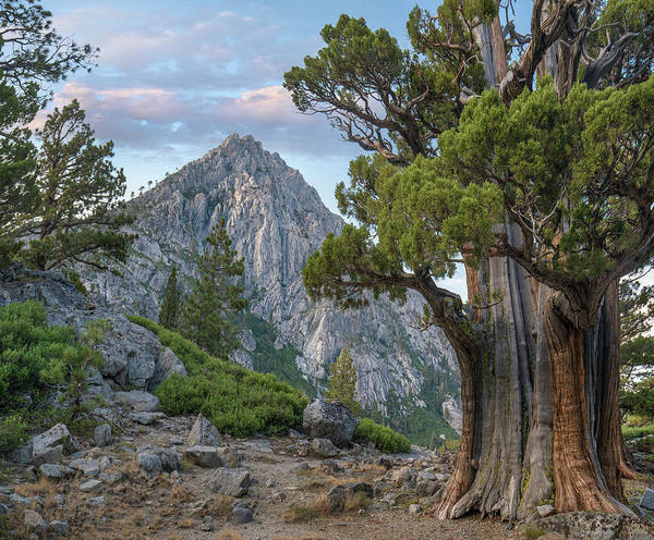 Photograph - Juniper And Jeffrey Pines, Phipps Peak by Tim Fitzharris