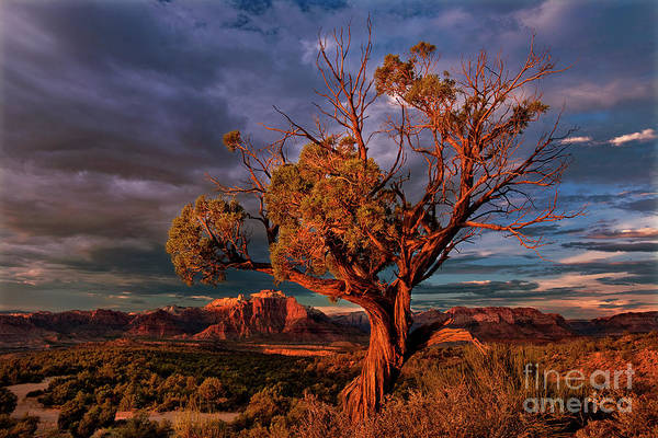 Photograph - Juniper And Storm Back Of Zion National Park Utah by Dave Welling
