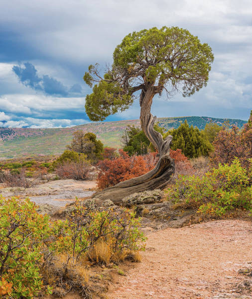 Photograph - Juniper At Dragon Point by Tom Potter