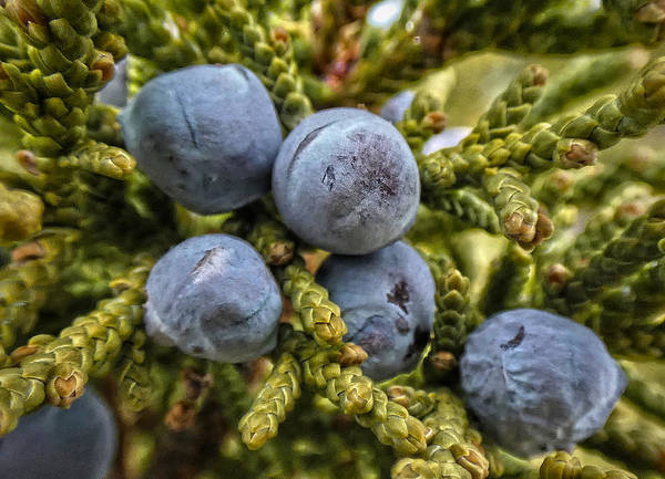 Juniper Berries Wall Art - Photograph - Juniper by Bob Geary