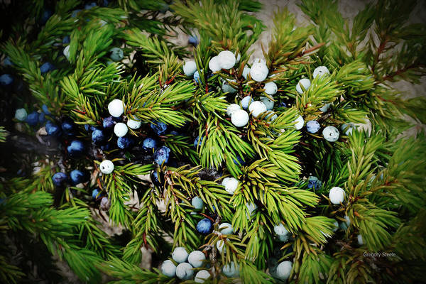 Juniper Berries Wall Art - Photograph - Juniper by Gregory Steele