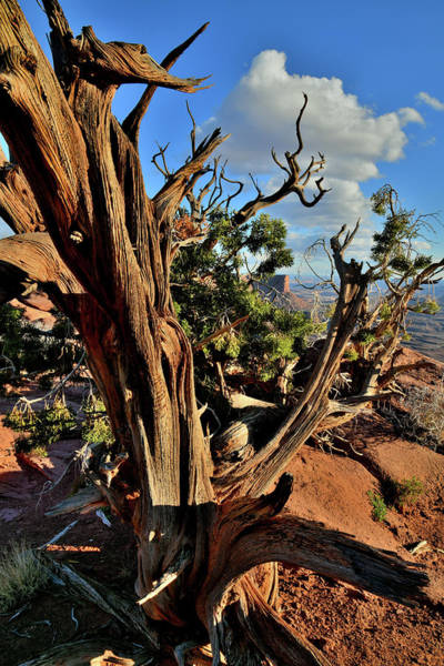 Photograph - Juniper Tree At Green River Overlook In Canyonlands by Ray Mathis