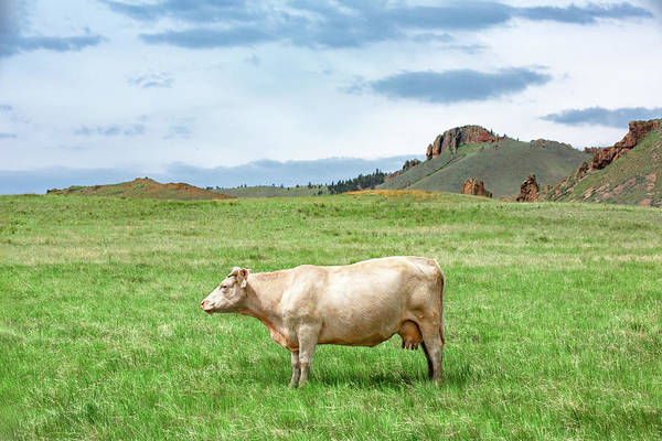 Wall Art - Photograph - Just A Cow by Todd Klassy