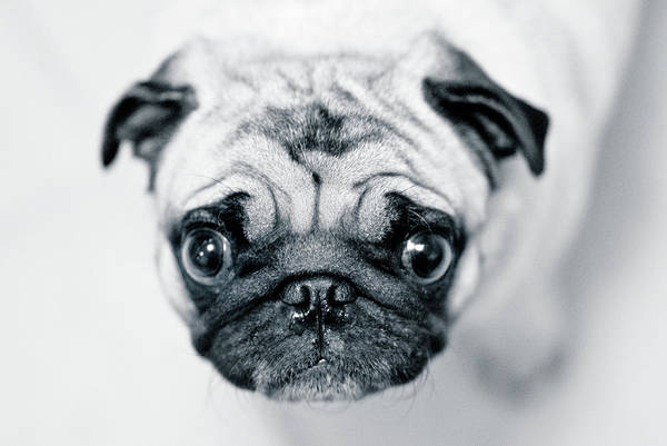 Pug Photograph - Just Enough by Eddy Joaquim