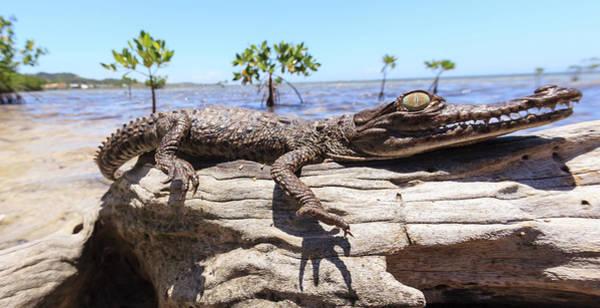 American Crocodile Photograph - Juvenile American Crocodile, Forest by Stuart Westmorland