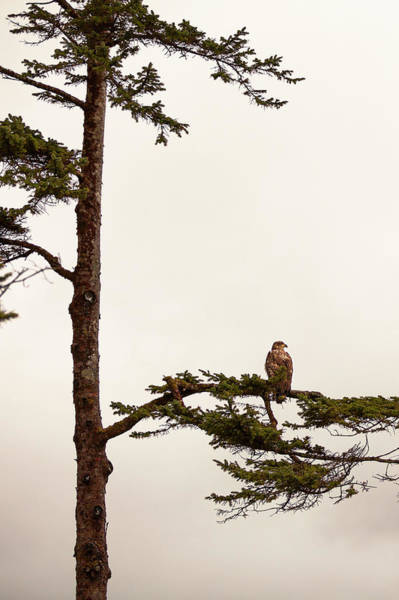 Eagle Photograph - Juvenile Bald Eagle Perching In Tree by Steven Errico