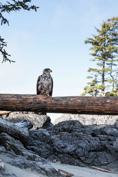 Eagle Photograph - Juvenile Bald Eagle Perching On Beached by Steven Errico