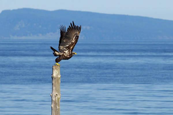 Photograph - Juvenile Bald Eagle Taking Flight by Sharon Talson