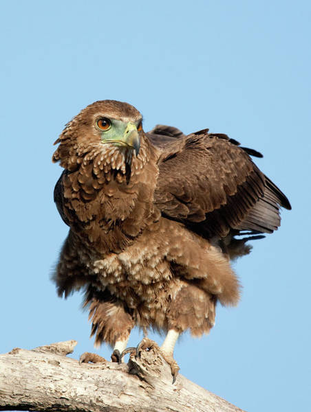 Eagle Photograph - Juvenile Bateleur Eagle Preparing For by John Bryant