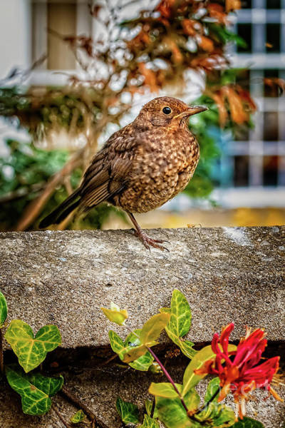 Wall Art - Photograph - Juvenile Blackbird by Adrian Evans