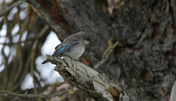 Wall Art - Photograph - Juvenile Bluebird by Whispering Peaks Photography