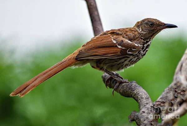 Wall Art - Photograph - Juvenile Brown Thrasher by Cindy Treger
