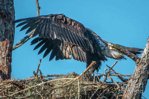 Photograph - Juvenile Eagle Wing Stretch by Tom Claud