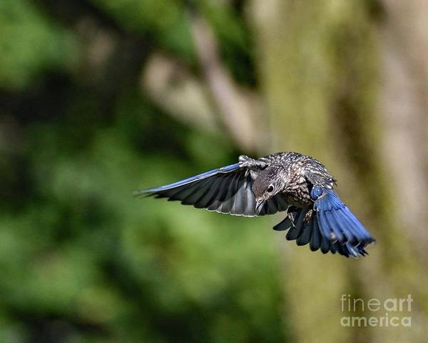 Wall Art - Photograph - Juvenile Eastern Bluebird Dropping By by Cindy Treger