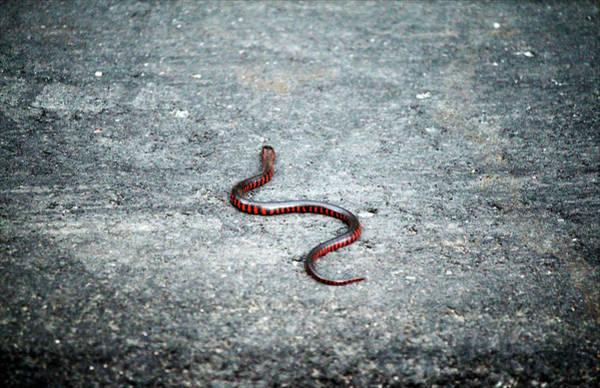 Photograph - Juvenile Eastern Mud Snake by Cynthia Guinn