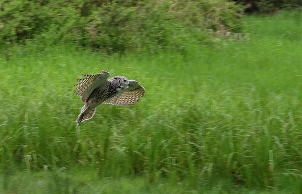 Photograph - Juvenile Great Horned Owl In Flight by Marilyn Wilson