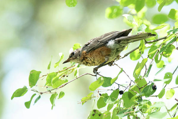 Photograph - Juvenile Robin by Michael D Miller