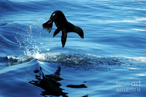 Wall Art - Photograph - Juvenile Sea Lion In Rare Pose Mid Air by Mavrick